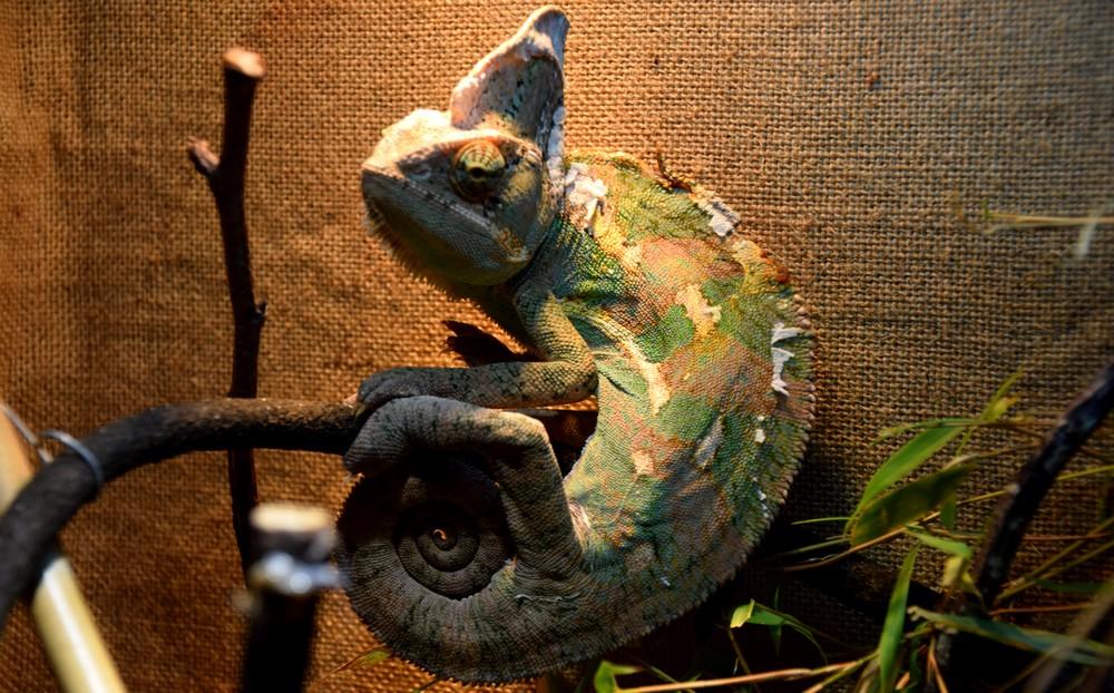 Comment bien élever un caméléon chez vous ?